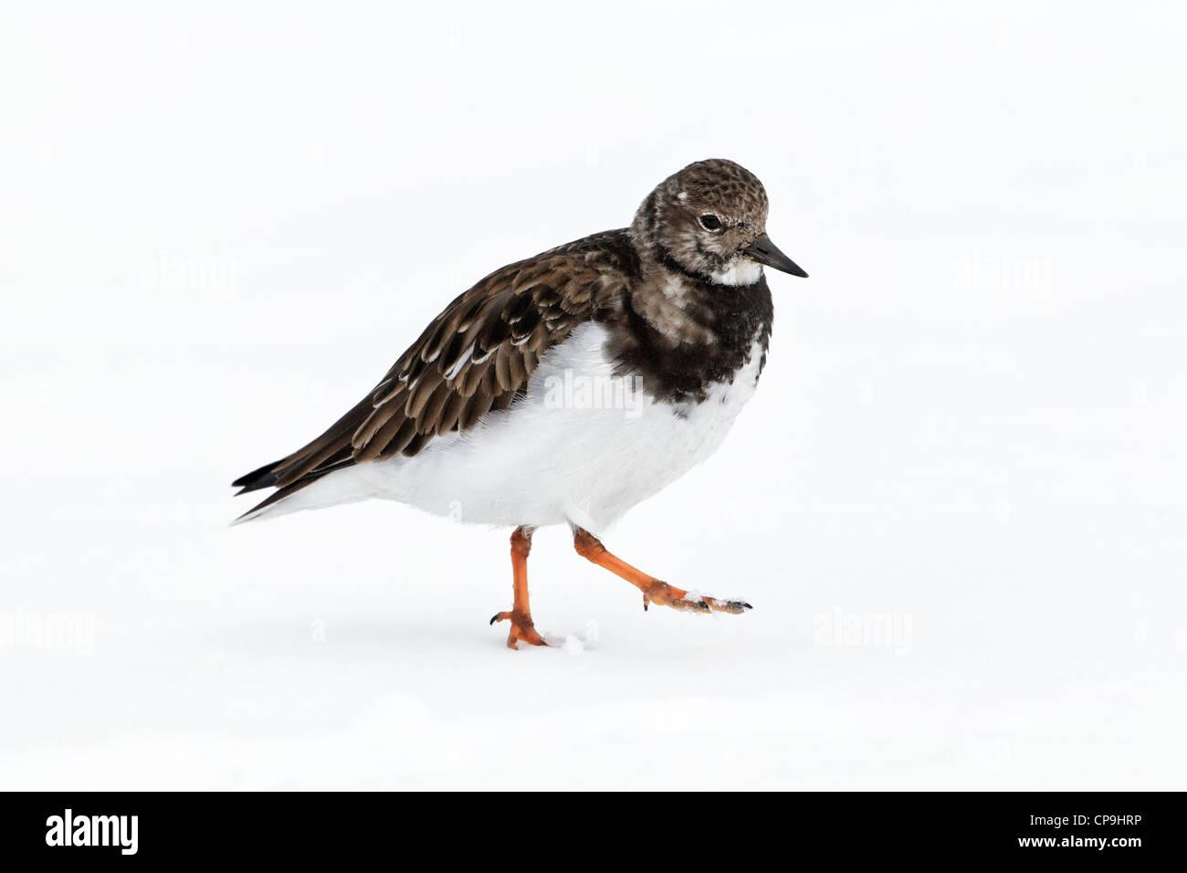 Turnstone, Ruddy Turnstone, Arenaria interpres, a single winter plumage bird walking on snow, Norfolk, February - Stock Image