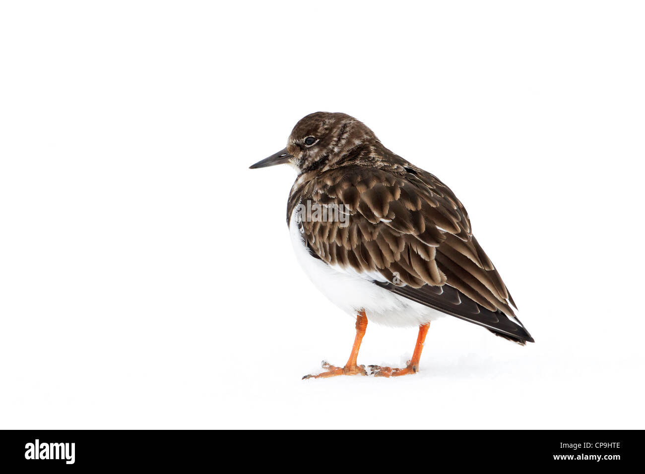 Turnstone - winter plumage - Stock Image