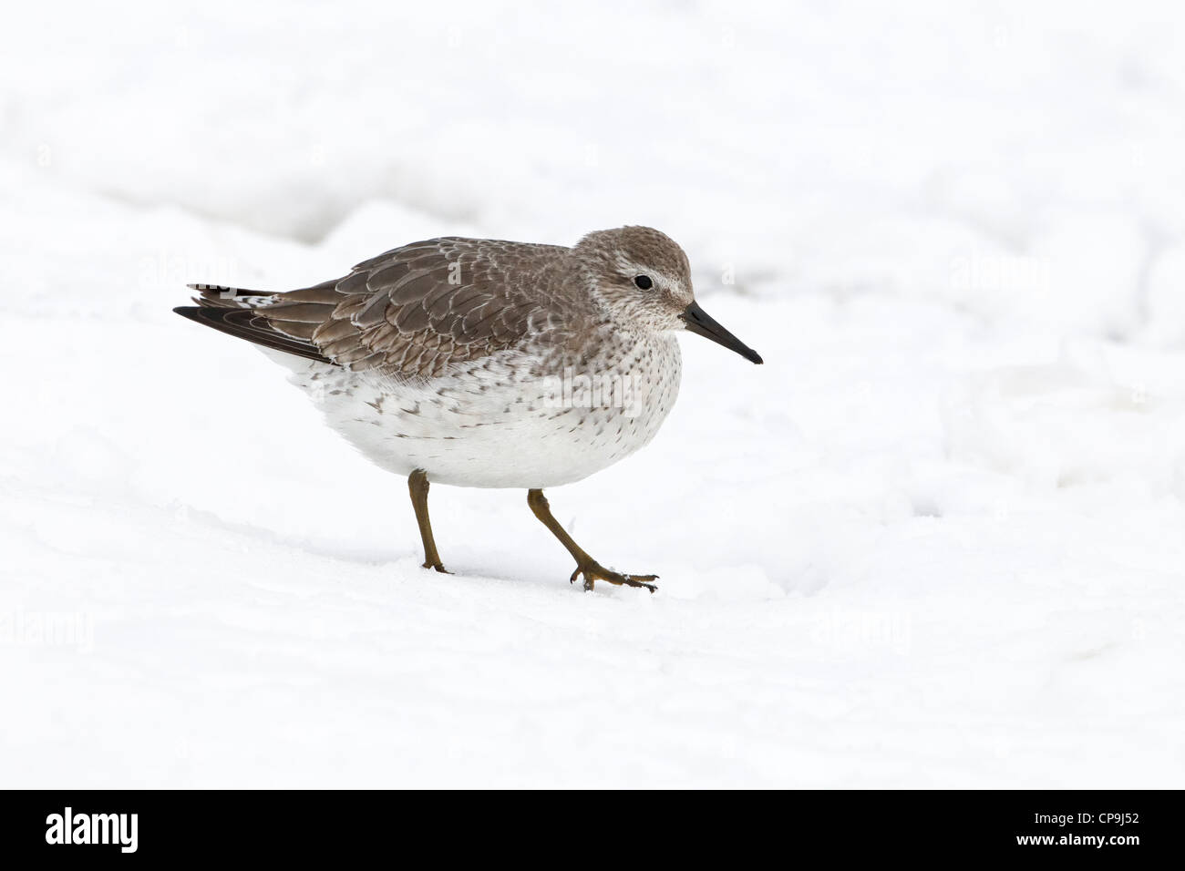 winter plumage Knot walking in snow - Stock Image