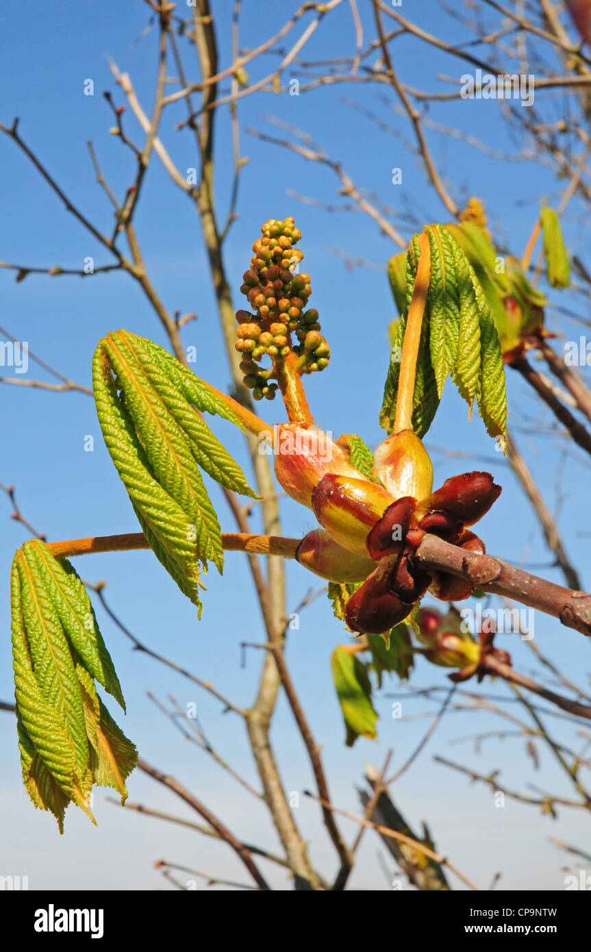 Leaves and flower of Horse Chestnut Aesculus hippocastanum bursting from sticky bud. Showing horse shoes, leaf scars. Stock Photo