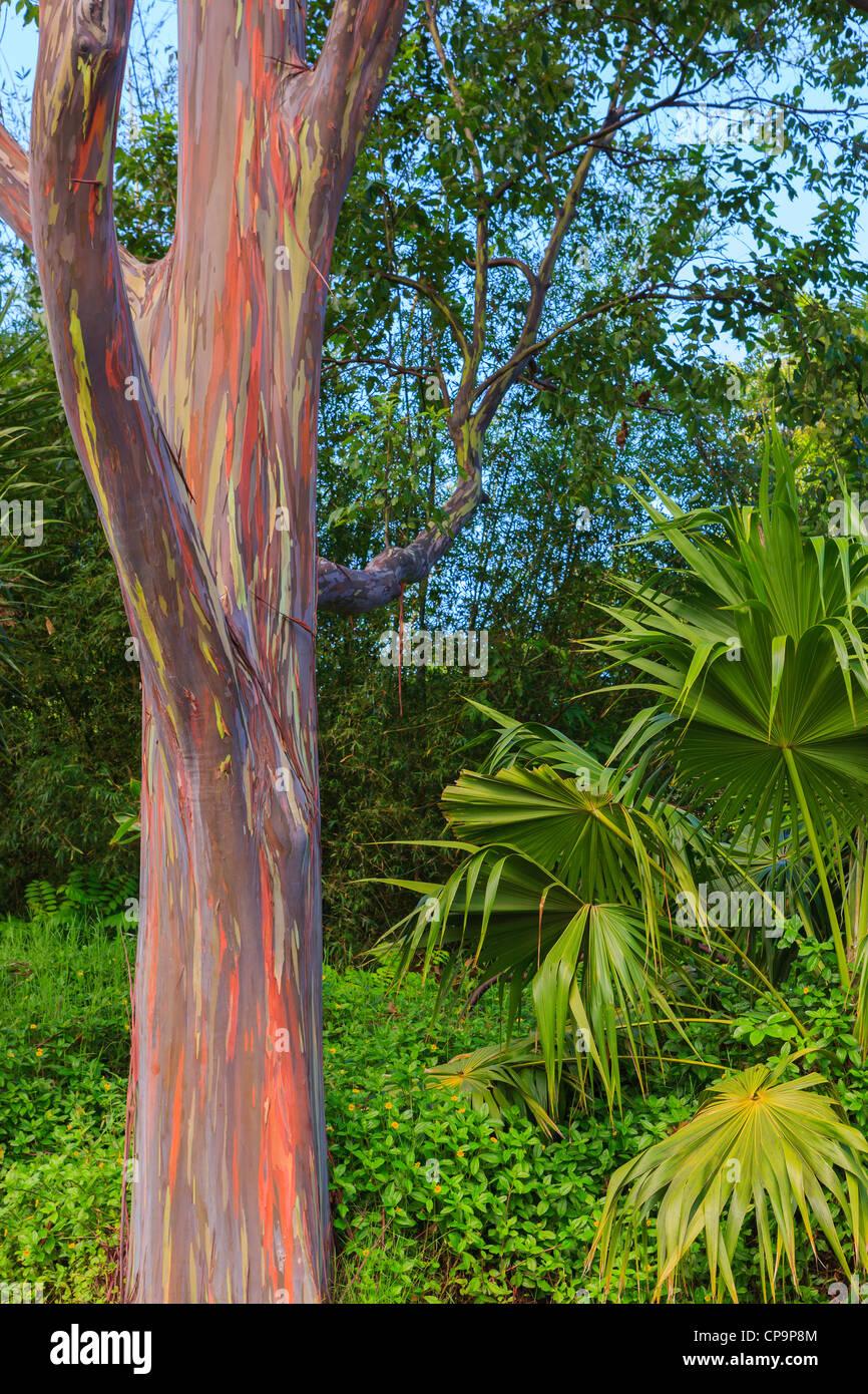 Rainbow Eucalyptus on the island of Maui, Kawaii - Stock Image