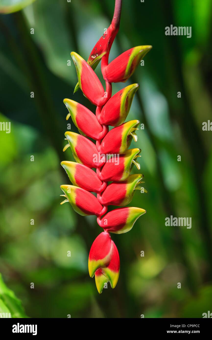 Heliconia - The Big Island, Hawaii - Stock Image