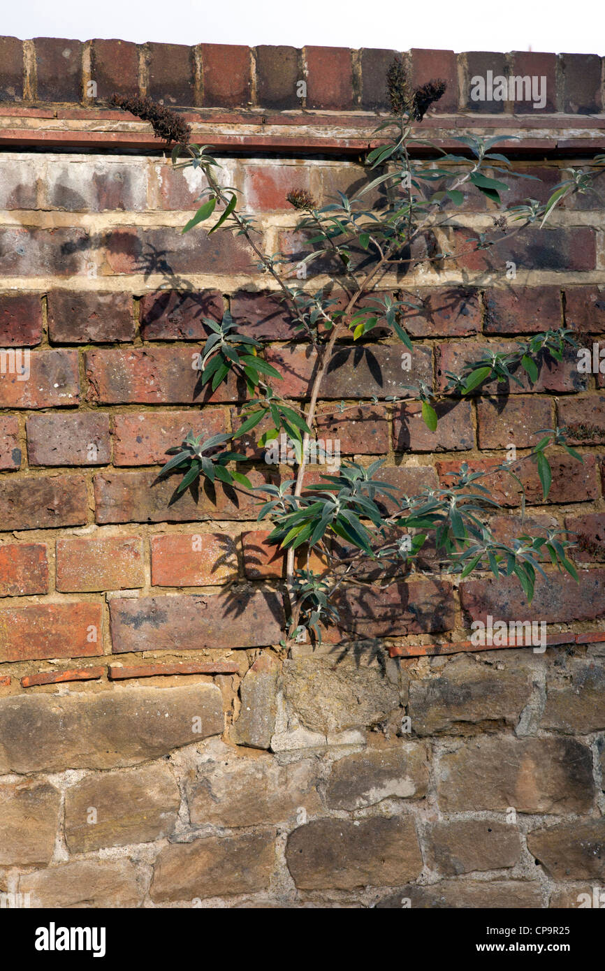 A buddleia butterfly bush growing in a brick wall - Stock Image
