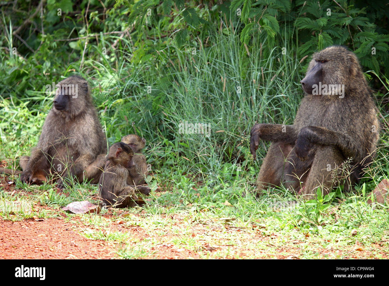 A family of olive baboons (Papio anubis) in Akagera National Park, Rwanda. Stock Photo