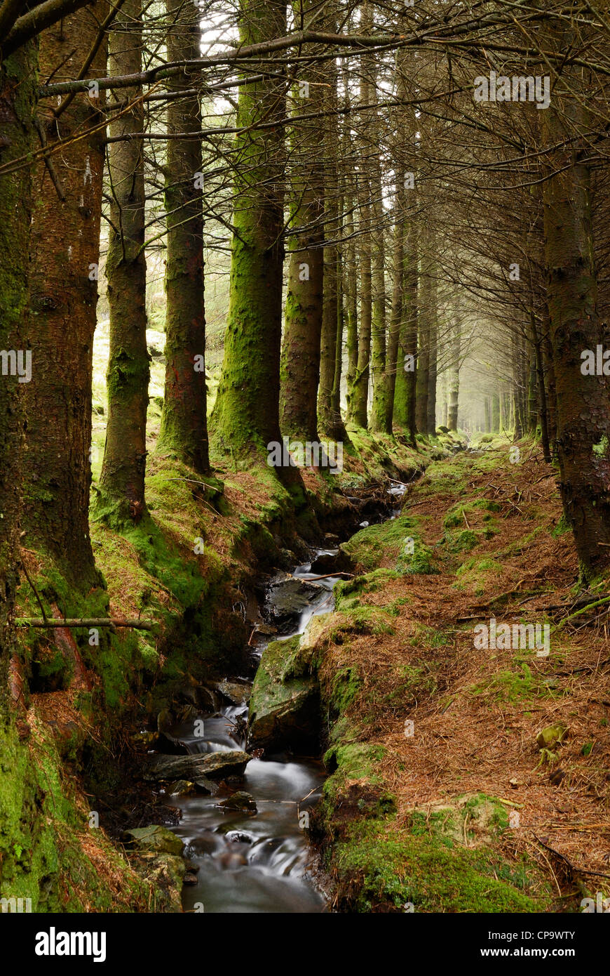 Stream running through a pine forest in North wales, UK. - Stock Image