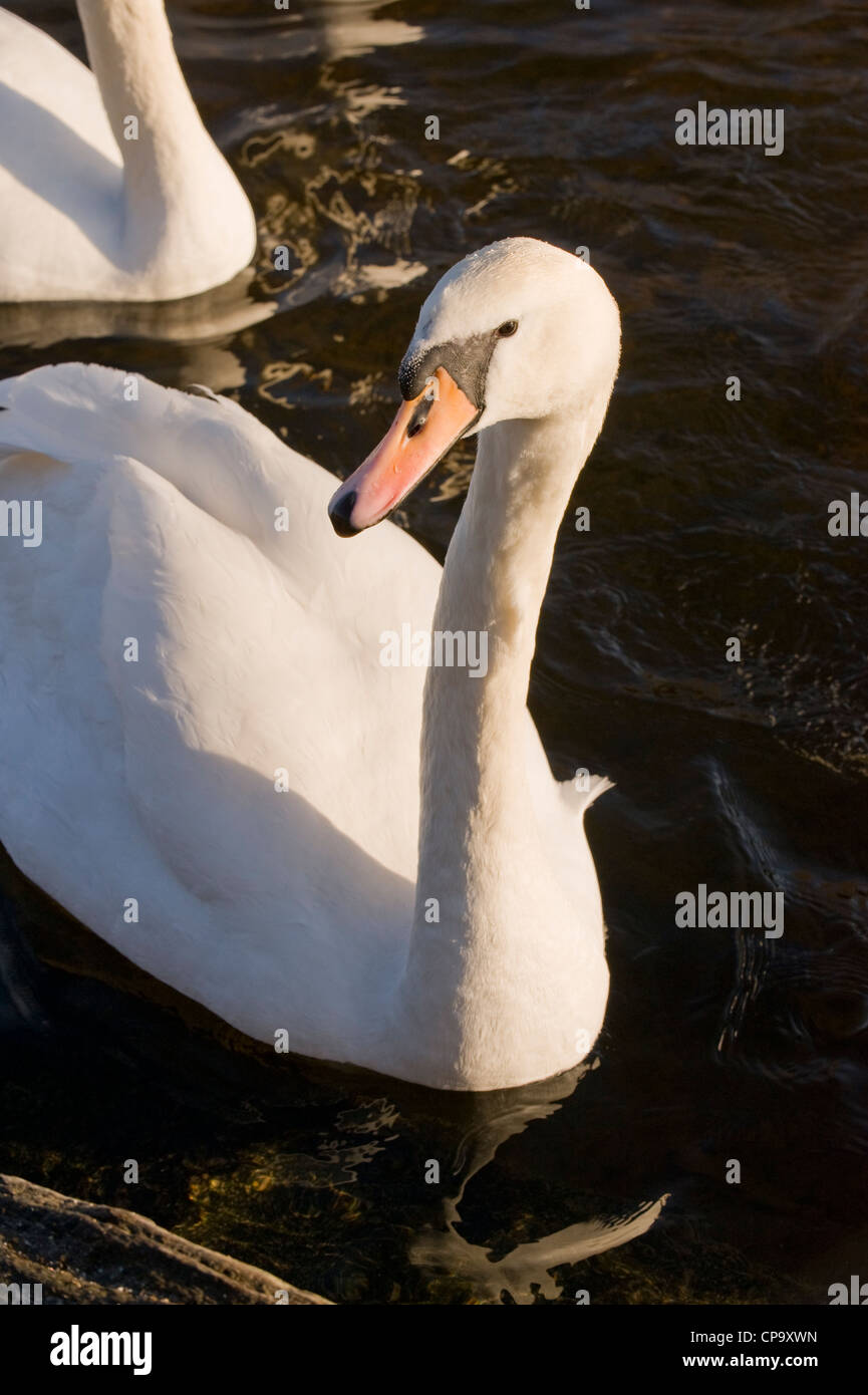 Partial front view of two adult mute swans (sunlit white feathers) swimming on rippling water - River Wharfe, Otley, Stock Photo