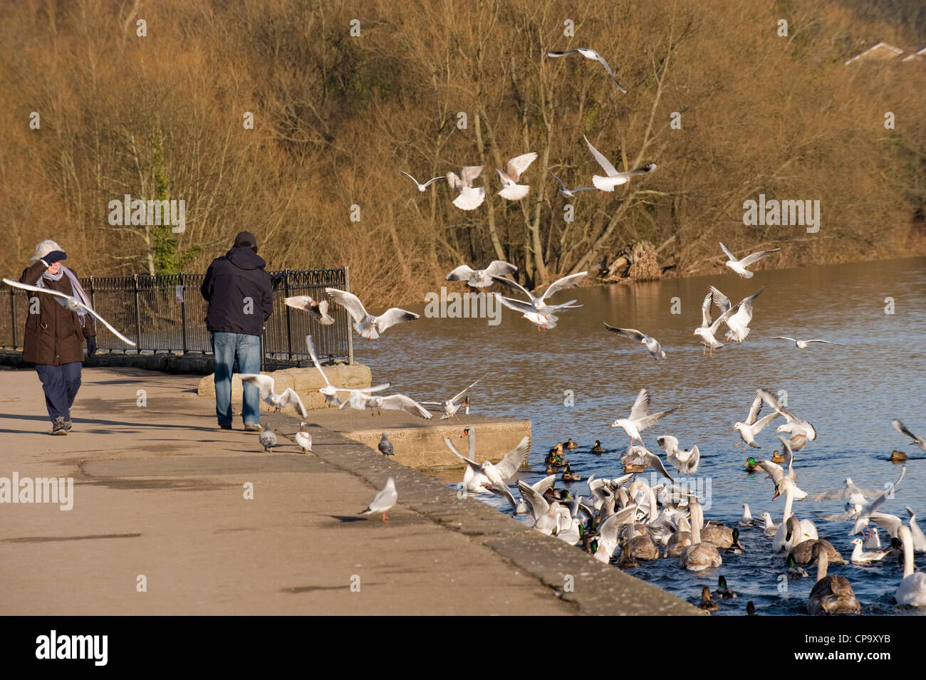 Man feeding birds with gulls, swans & ducks flying, swooping, swimming, flocking round him (woman walks by) - River Stock Photo