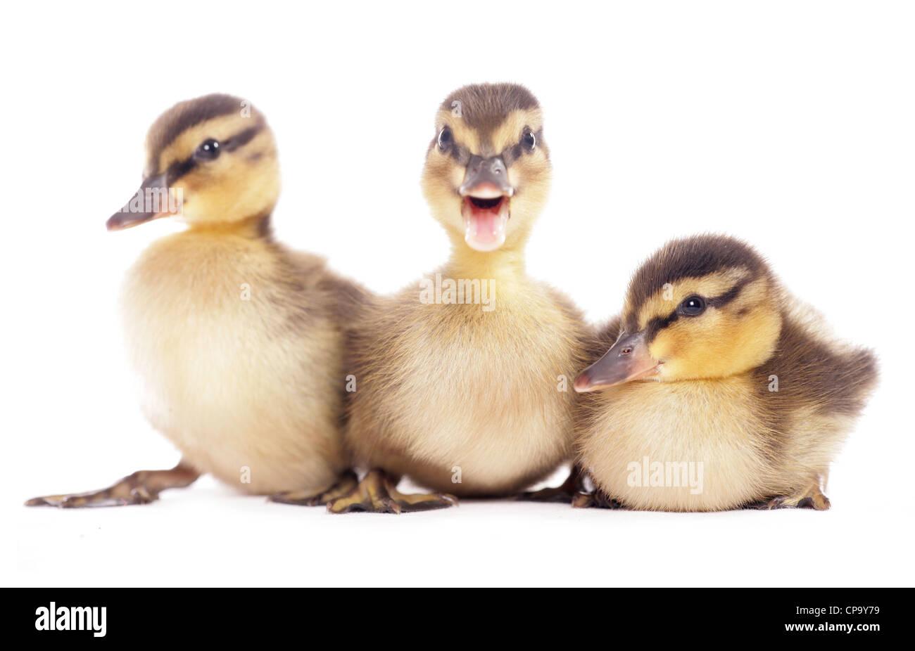 Mallard Anas platyrhynchos Three ducklings sitting in a Studio UK - Stock Image