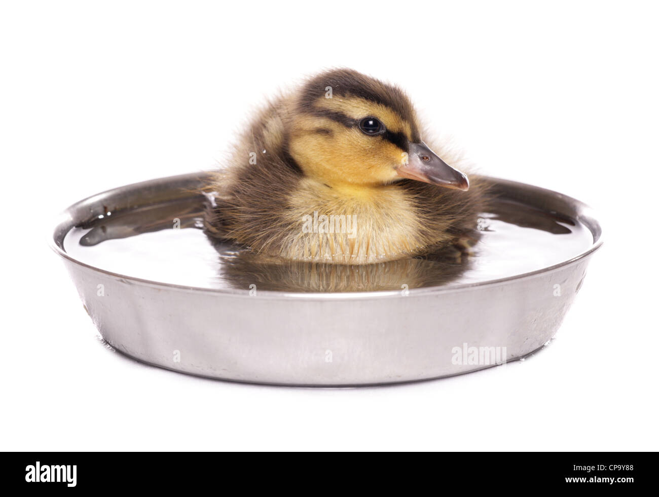 Mallard Anas platyrhynchos Single juvinille sitting in a bowl of water Studio, UK - Stock Image