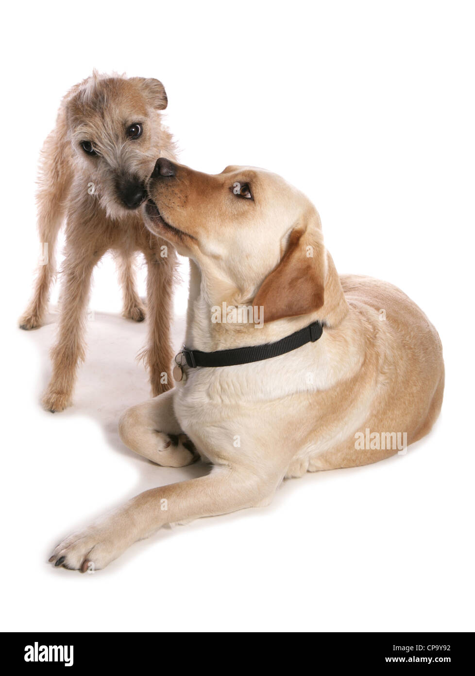 Dogs Kissing Stock Photos Amp Dogs Kissing Stock Images Alamy