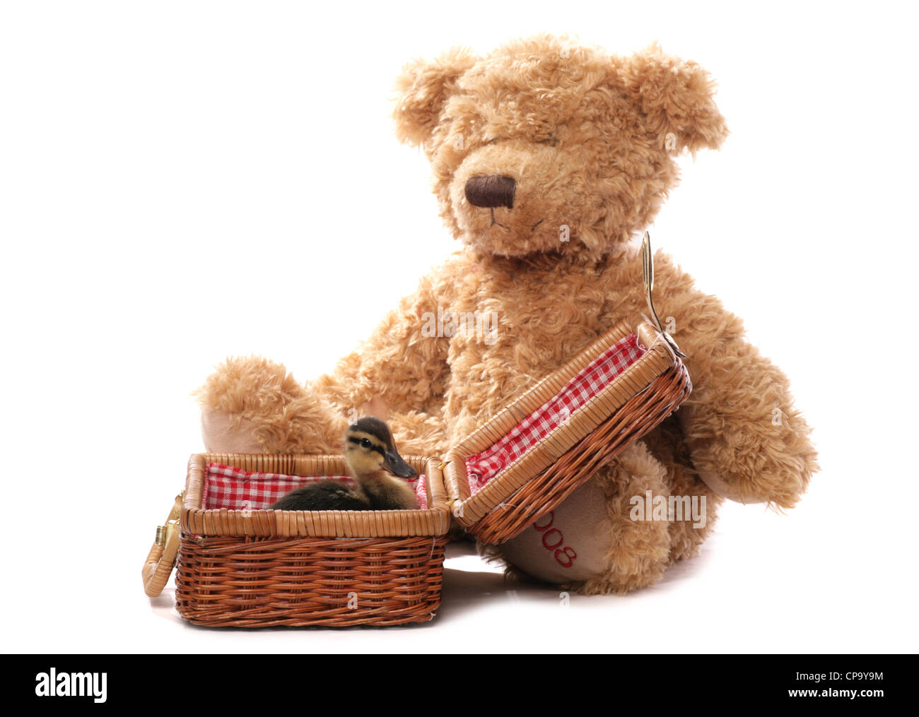 Mallard Anas platyrhynchos Single juvinille sittinga basket with a soft toy bear Studio, UK - Stock Image