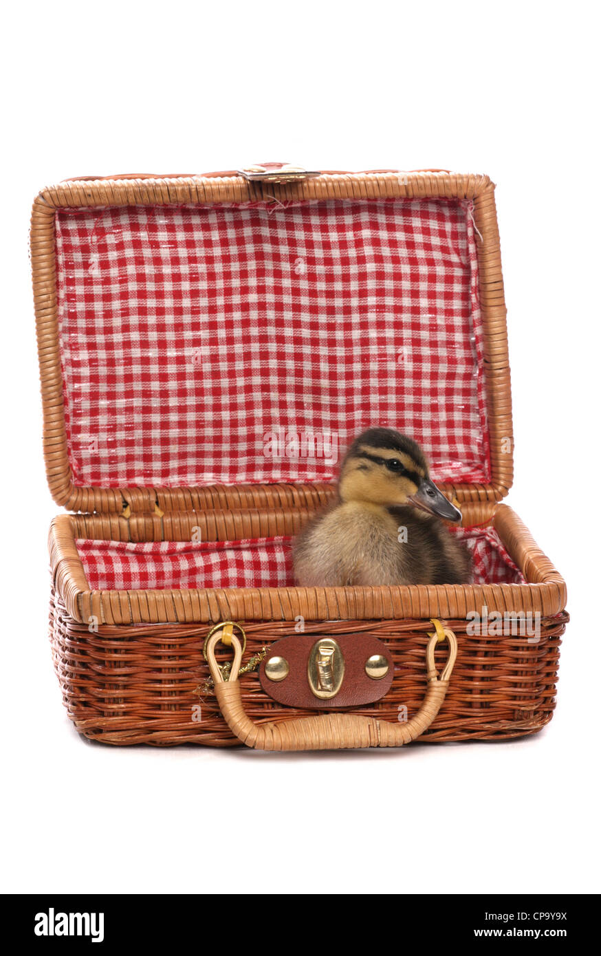Mallard Anas platyrhynchos Single juvinille sitting in a picnic basket Studio, UK - Stock Image