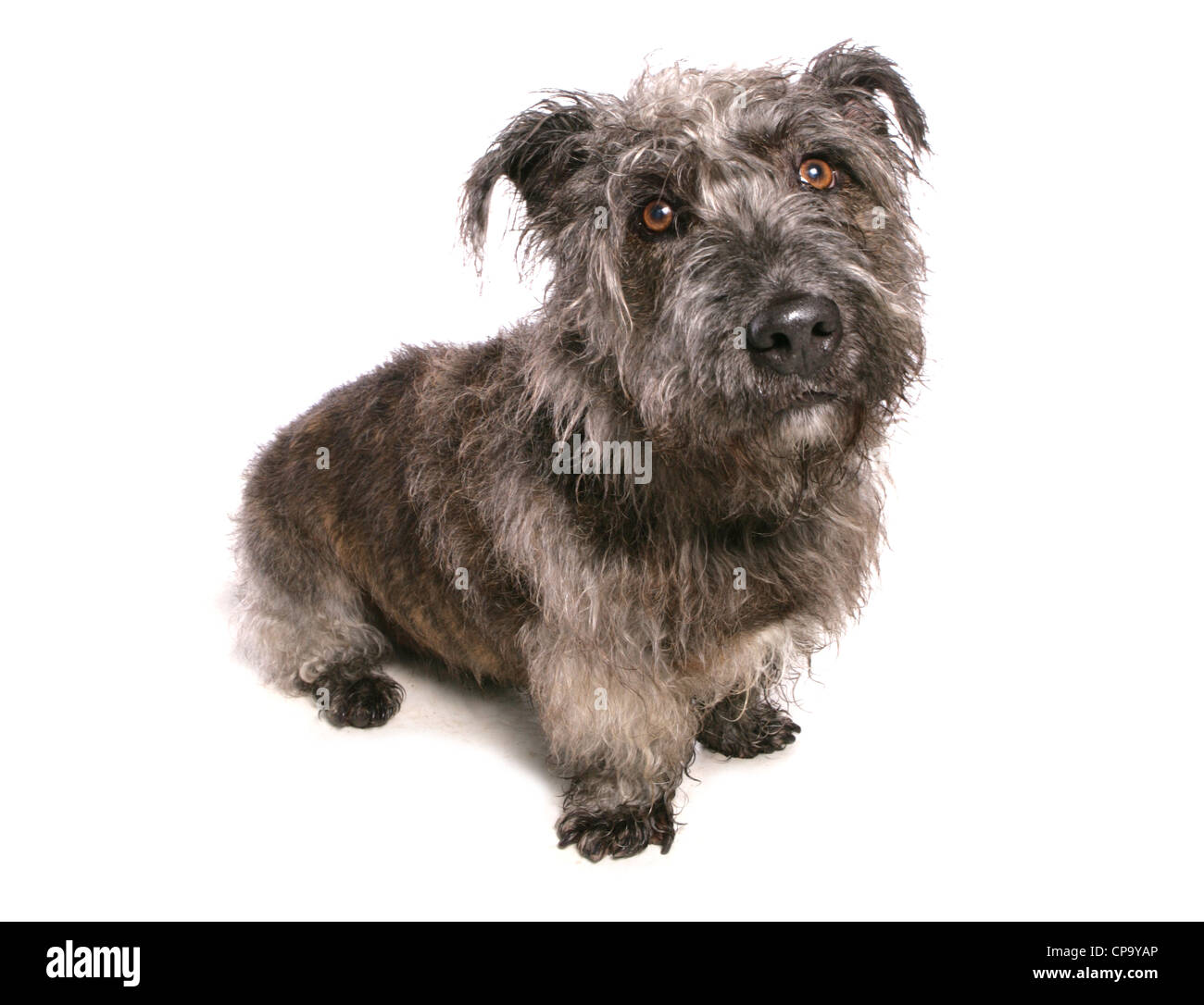 Glen of imaal terrier stock photos glen of imaal terrier stock glen of imaal terrier single adult in a studio uk stock image altavistaventures Images