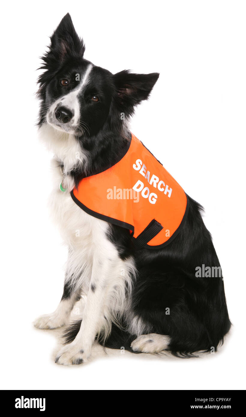 Search and Rescue dog Single adult sitting in a studio UK - Stock Image