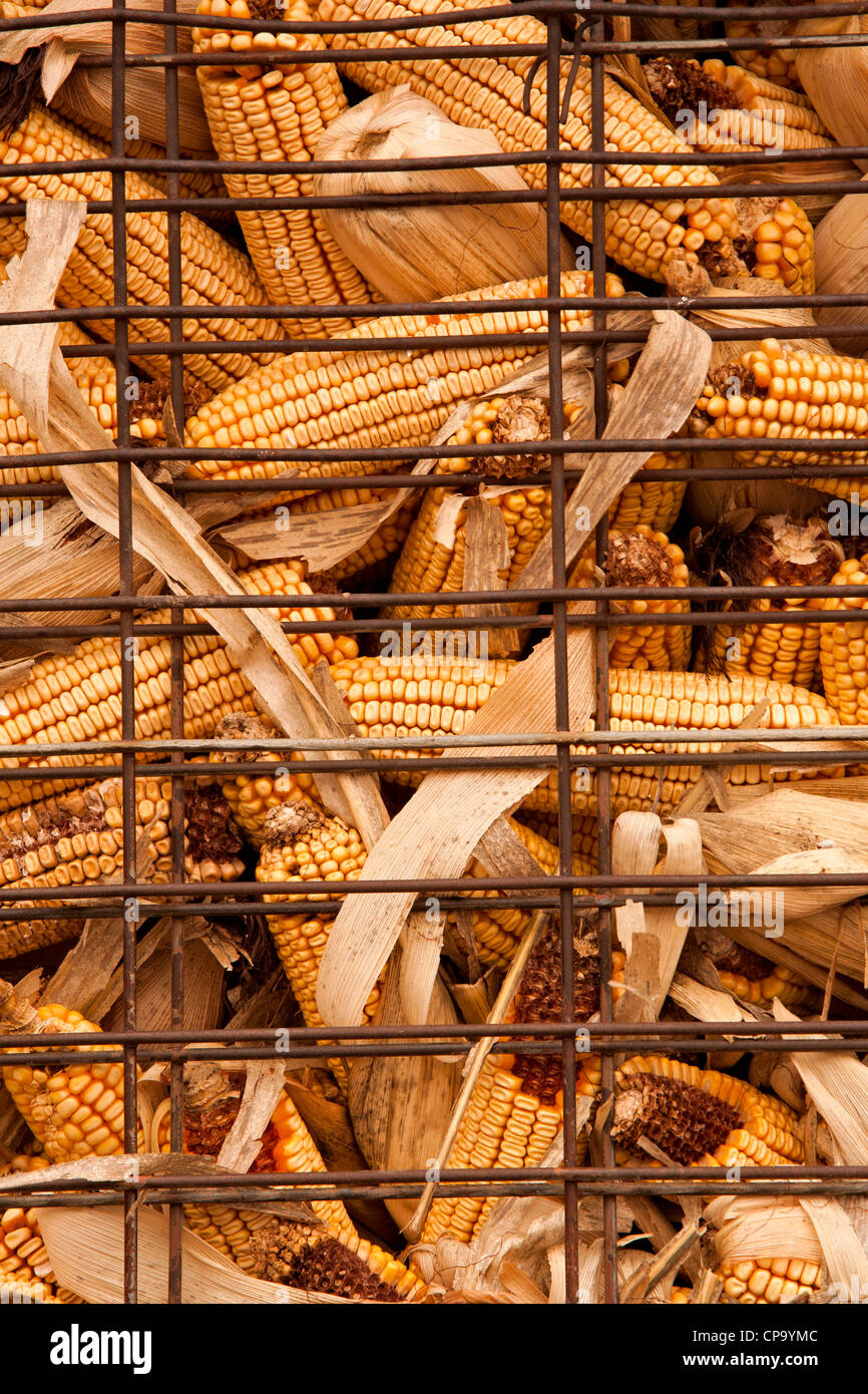 A corn crib holds harvested grain corn in an outdoor wire storage bins near Madison County, Iowa, USA - Stock Image