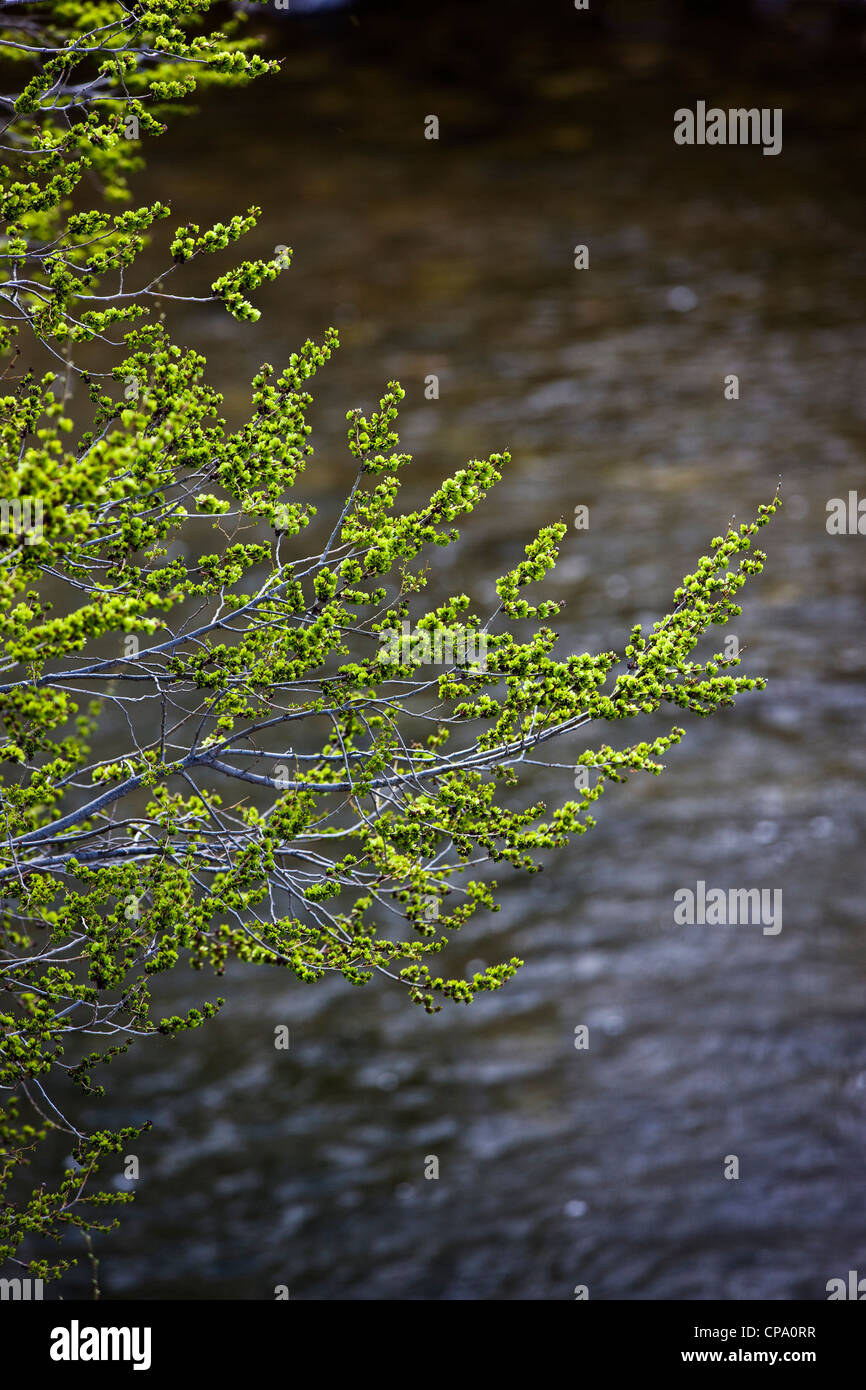 Fresh springtime green willow tree leaves line the Arkansas RIver which runs through the historic district of Salida, - Stock Image