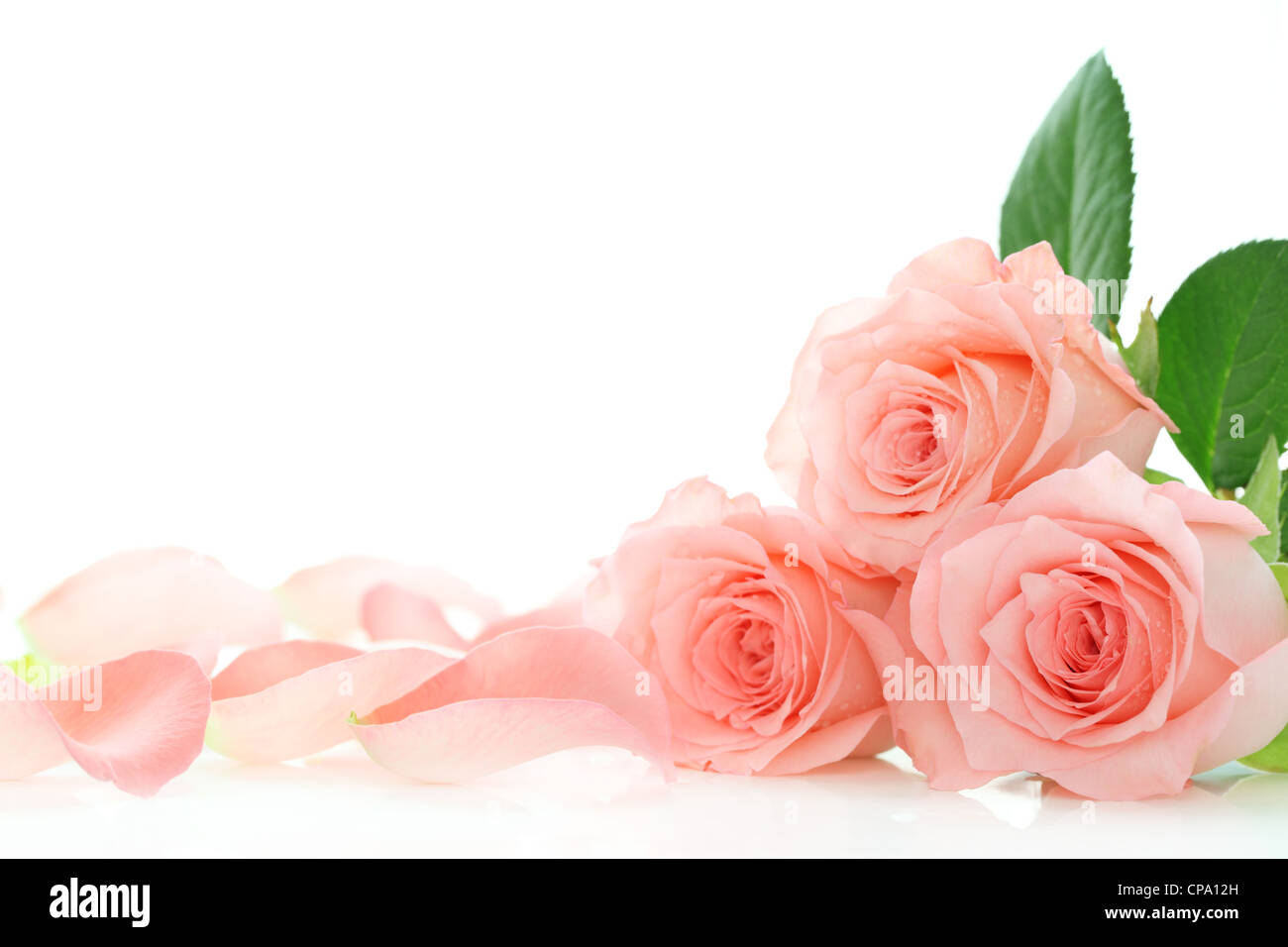 Pink roses petals on white background - Stock Image