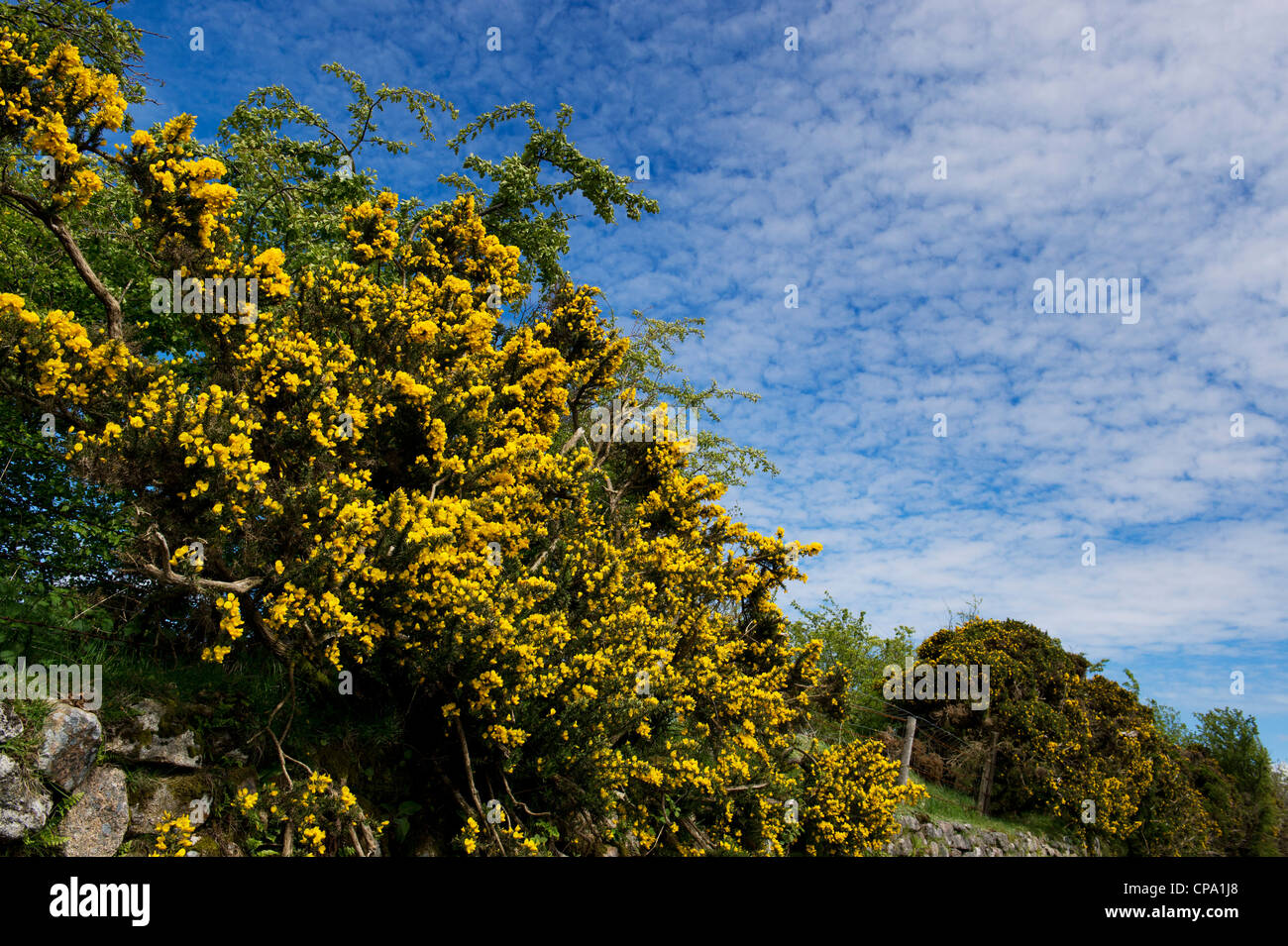 Ulex europaeus. Flowering gorse in the Devon countryside. UK - Stock Image
