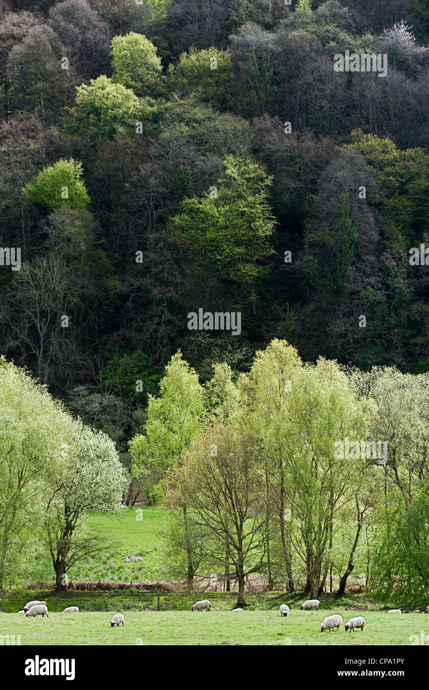 Trees coming into leaf in the Wye Valley Area of Outstanding Natural Beauty - Stock Image