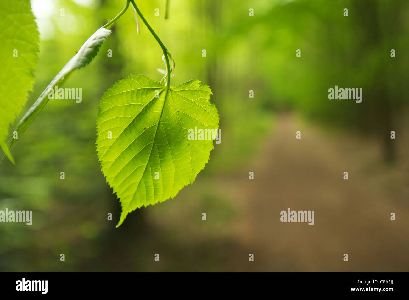 Sommerlinde - Tilia platyphyllos Leaf of a Large-leaved Linden or lime tree Stock Photo