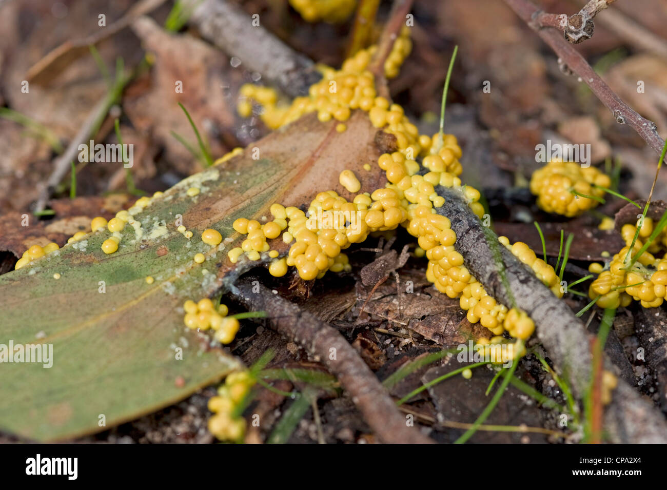 Yellow slime mould (mold) fruiting bodies - Stock Image