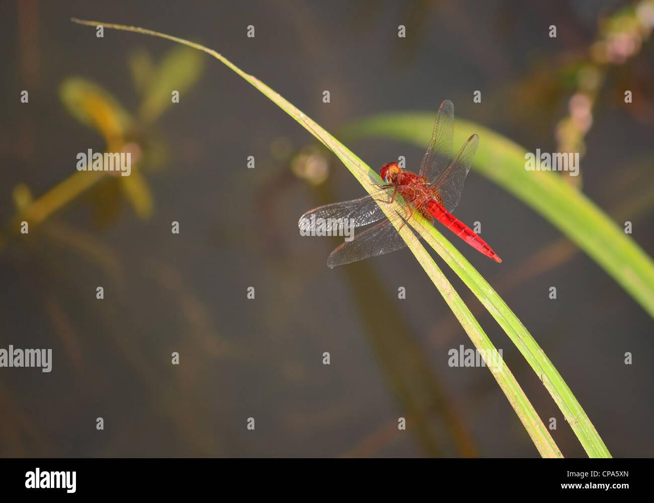 Red dragonfly / Crocothemis erythraea Stock Photo