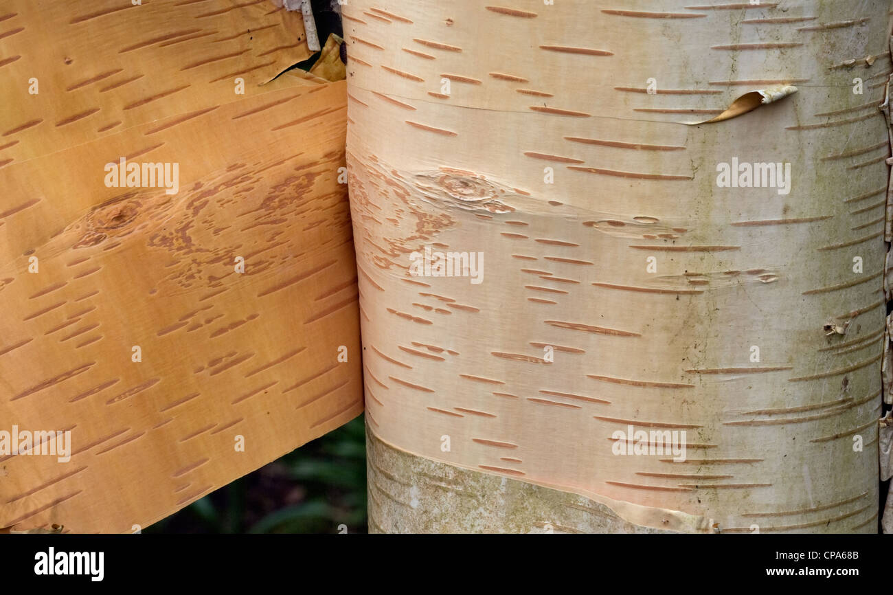 Canoe Birch Betula papyifera shedding bark - Stock Image