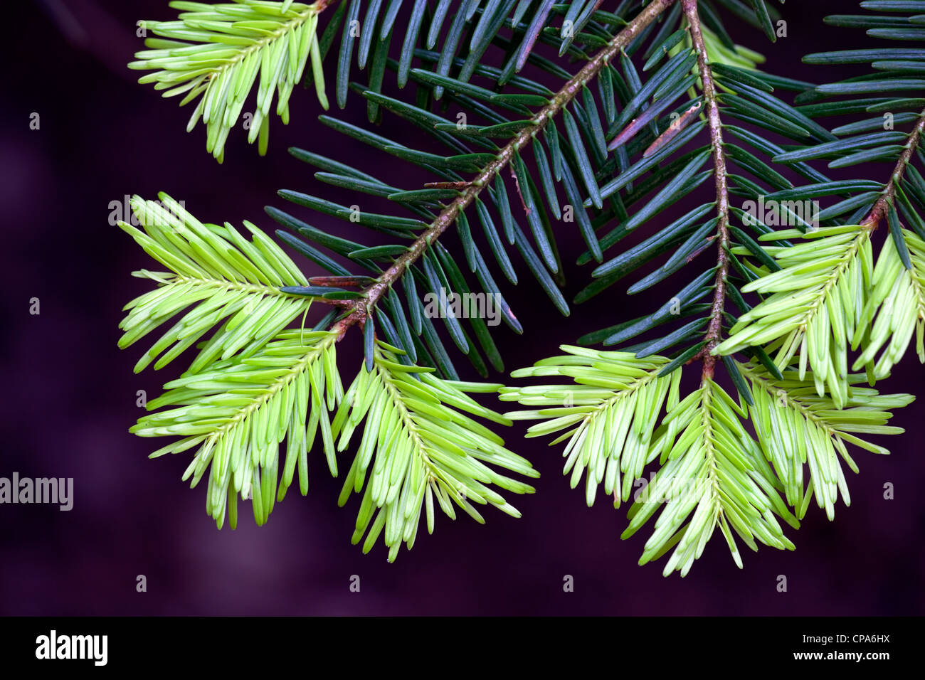 New shoots on Western Hemlock Tsuga heterophylla needles in Spring - Stock Image