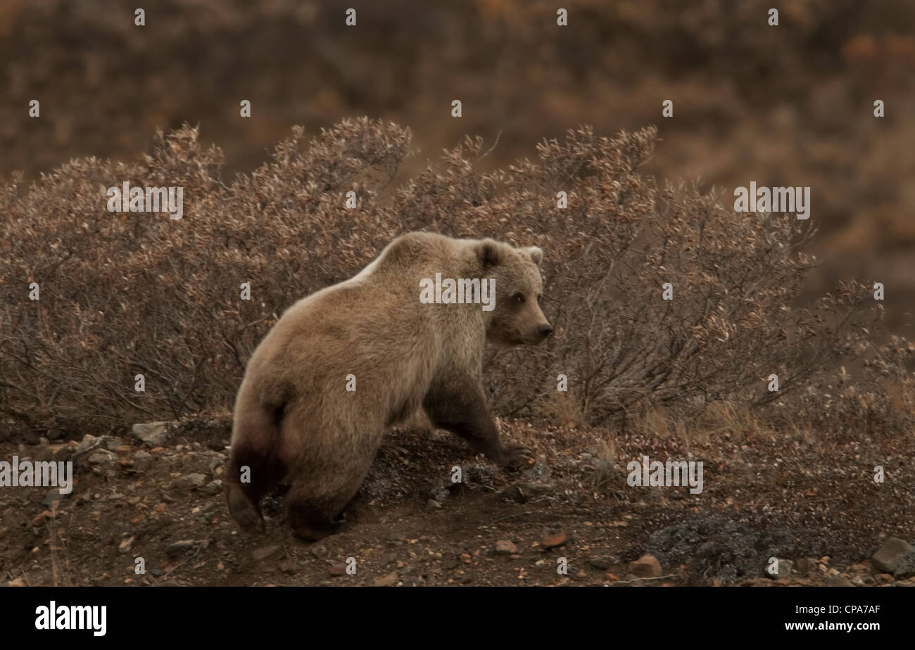 Grizzly (Ursus arctos) bear, Denali National Park, Alaska - Stock Image