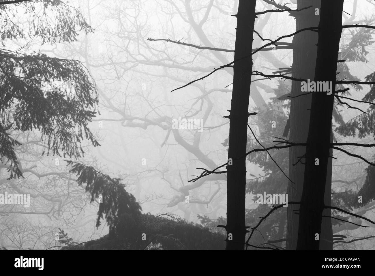 Conifer forest in mist, England, UK - Stock Image