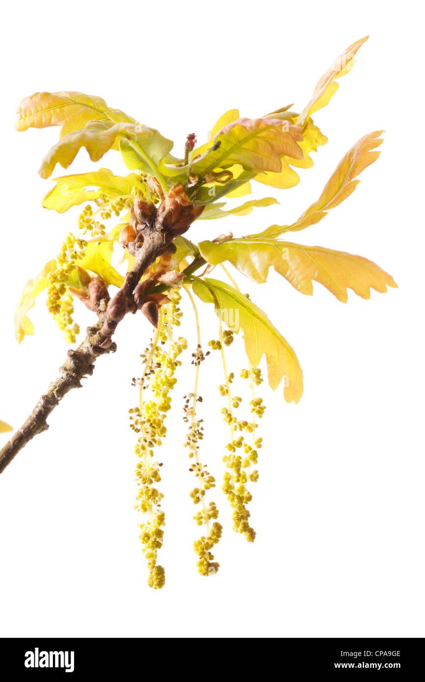 Flowers or catkins of pedunculate oak(Quercus pedunculata = Quercus robur). - Stock Image