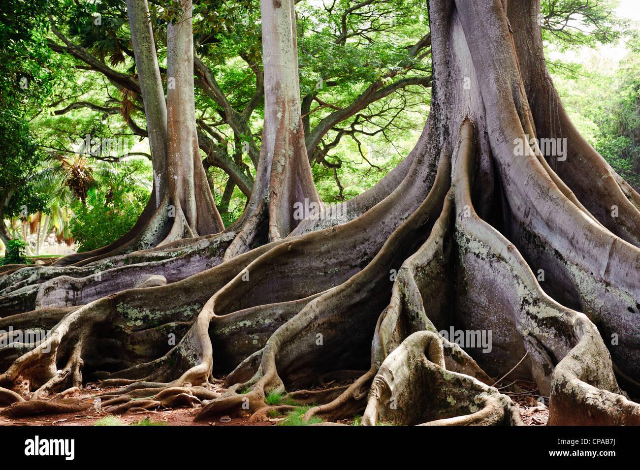 ficus tree roots allerton garden kauai stock photo