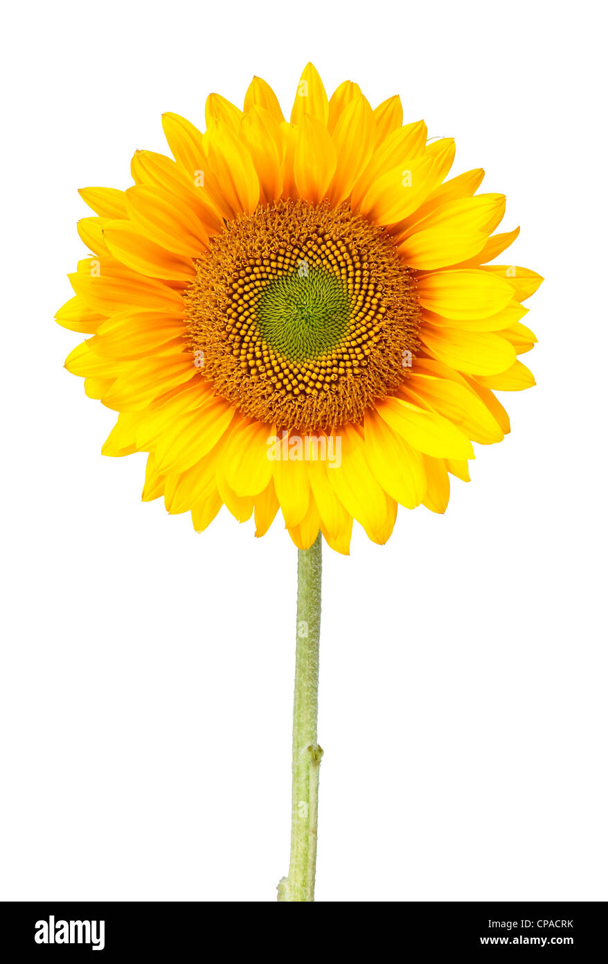 a sunflower isolated on white with clipping path - Stock Image