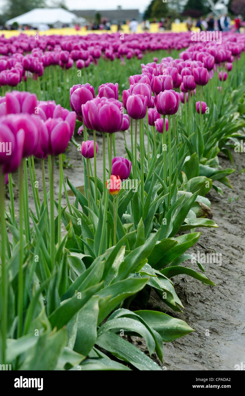 Tulips growing on large farm - Stock Image