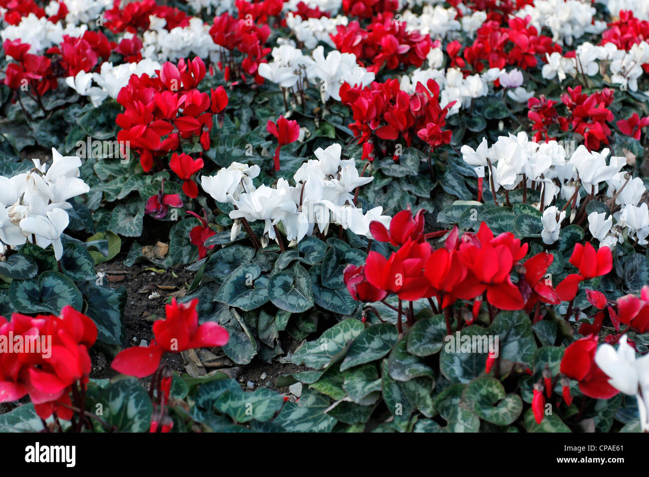 Cyclamen (Cyclamen cilicium) white and red geometrical disposition in a bed - Stock Image