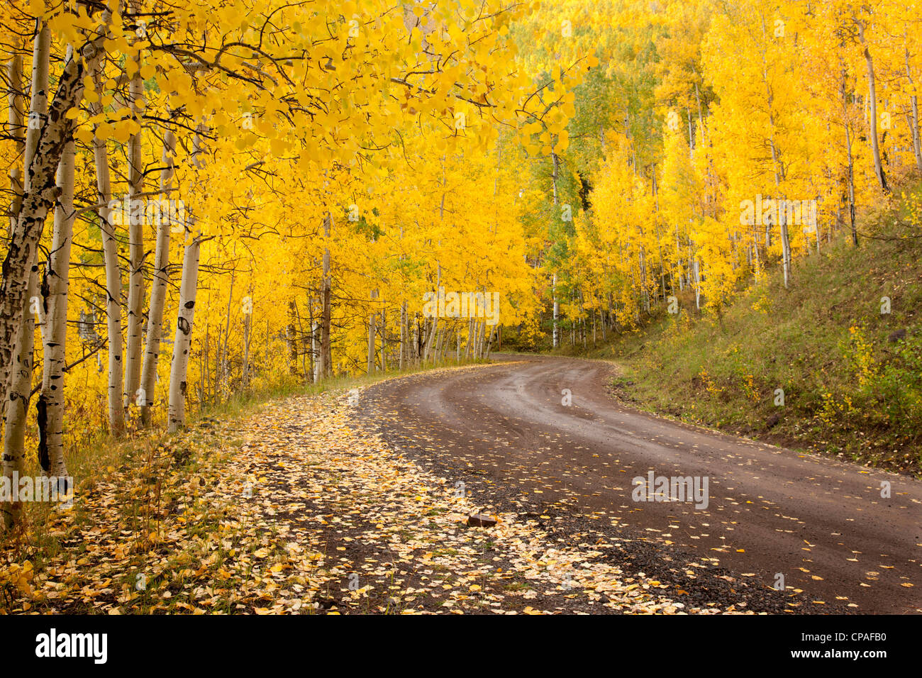 USA, Colorado, Uncompahgre National Forest. Autumn-colored aspen trees  line a forest road - Stock Image