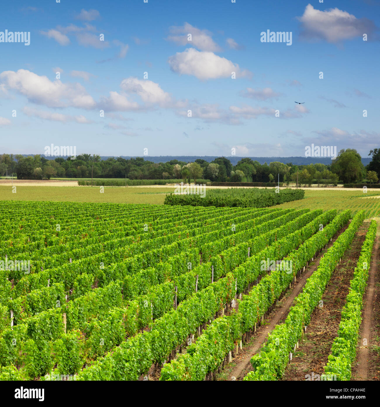 A vineyard in the Loire Valley, France. - Stock Image