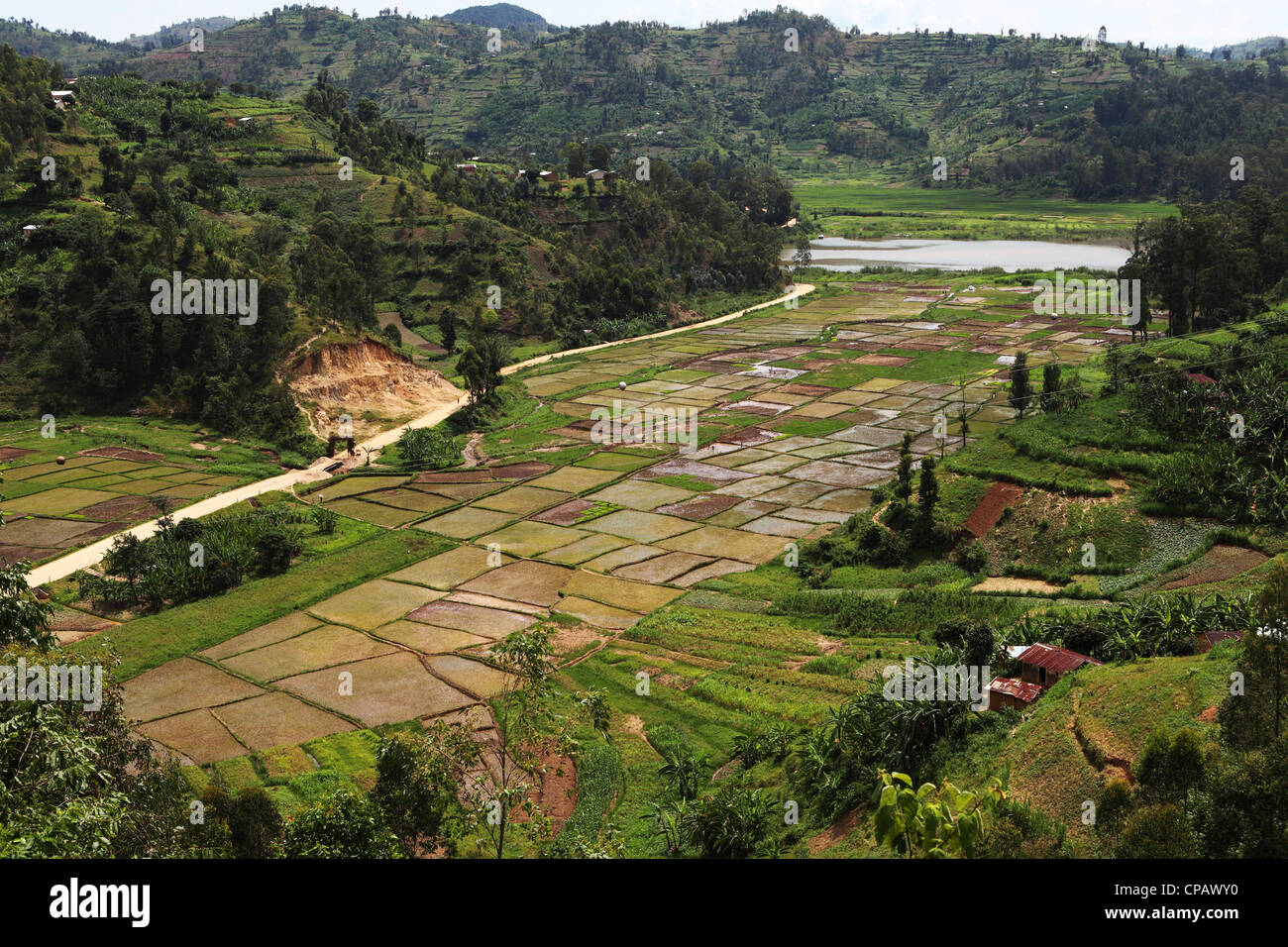 Rice is produced in paddy fields in the Western Province of Rwanda. - Stock Image