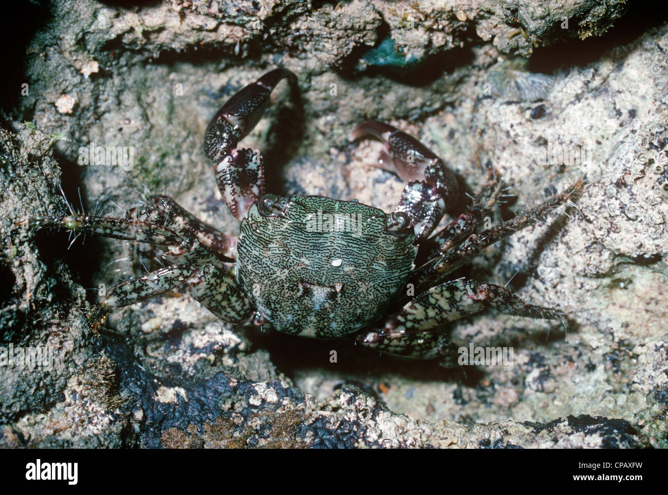 Marbled shore crab, Marbled rock crab (Pachygrapsus marmoratus: Grapsidae) in a rockpool Portugal - Stock Image