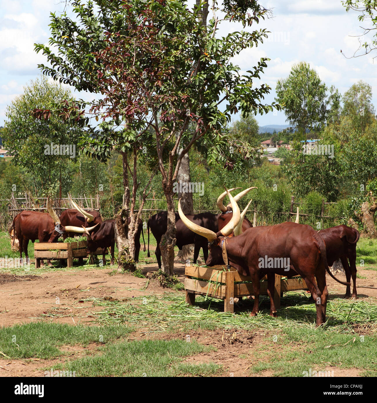 African Long-Horned Cows in a stockade at the King's Palace, Nyanza, Rwanda. - Stock Image