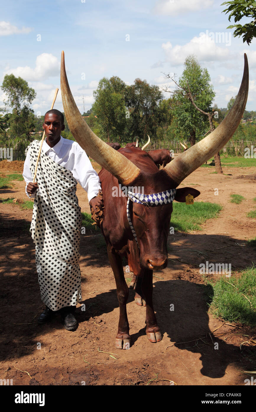 A cowherd whistles to control an African Long-Horned Cow in a stockade at the King's Palace, Nyanza, Rwanda. - Stock Image