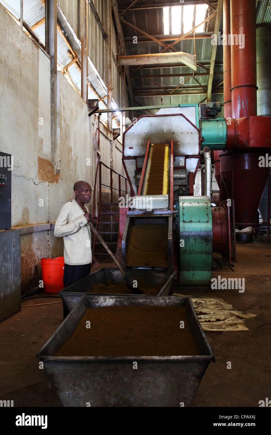 Tea runs up a conveyor belt during production at the Gisakura Tea Factory in Rwanda. - Stock Image