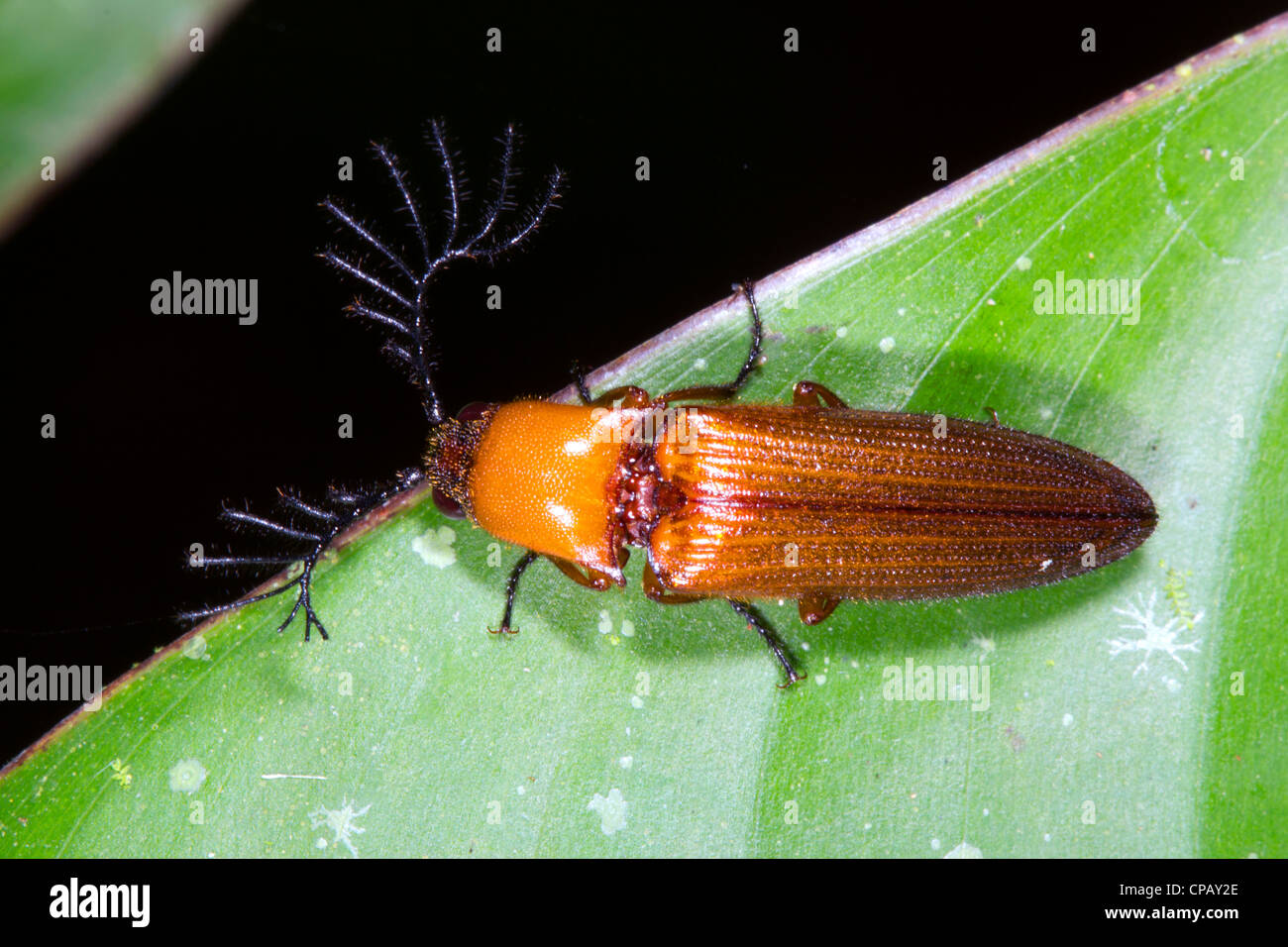 Click beetle (Elateridae) with large feathered antennae. Probably is a male who uses these antennae to detect female - Stock Image