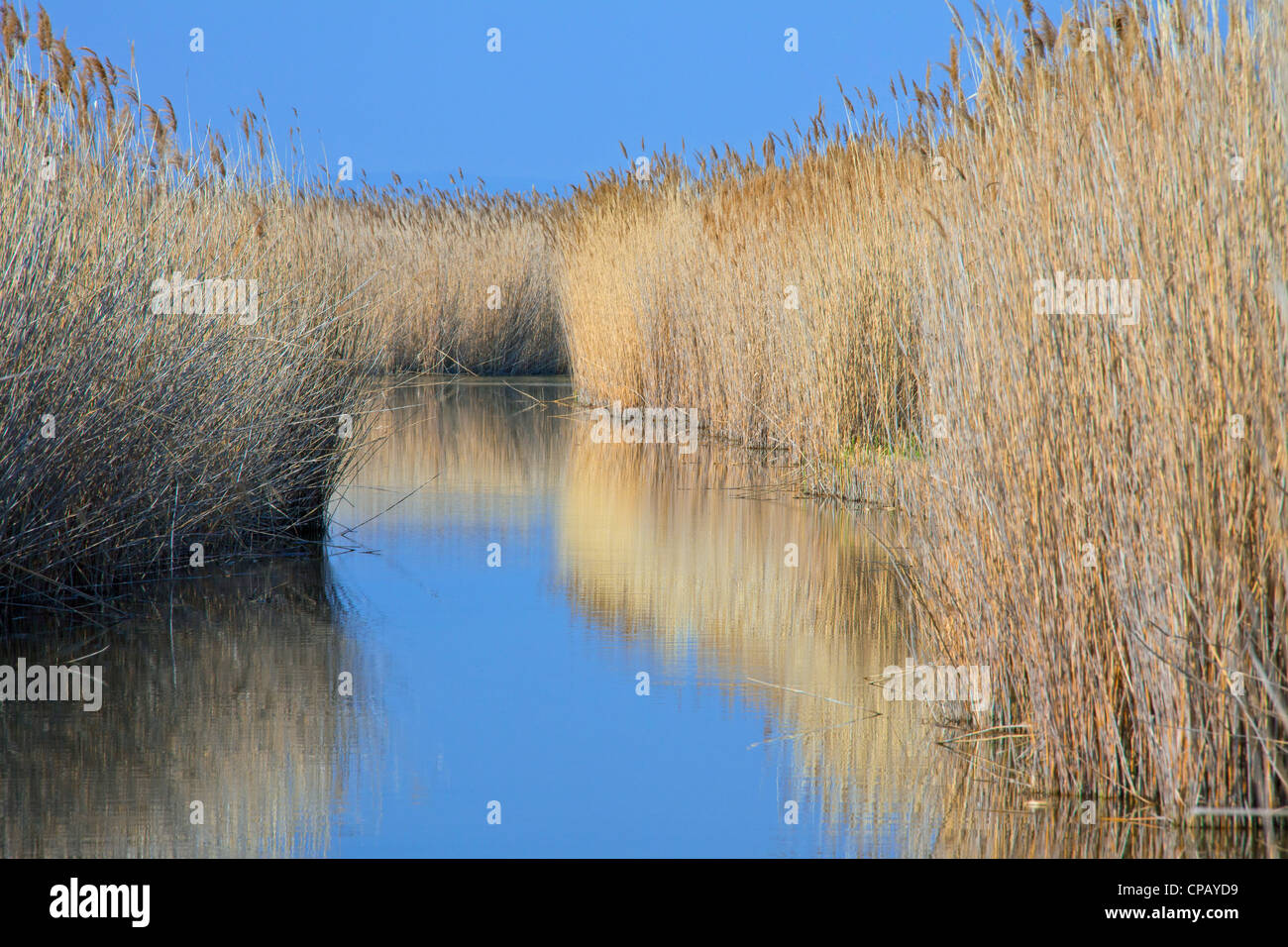 Common reed (Phragmites australis / Phragmites communis) reedbed in wetland, Germany - Stock Image