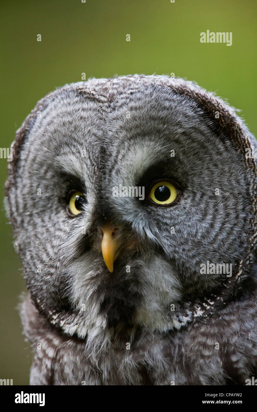 Great grey owl / Lapland owl (Strix nebulosa) close-up showing facial disc, Dalarna, Sweden - Stock Image