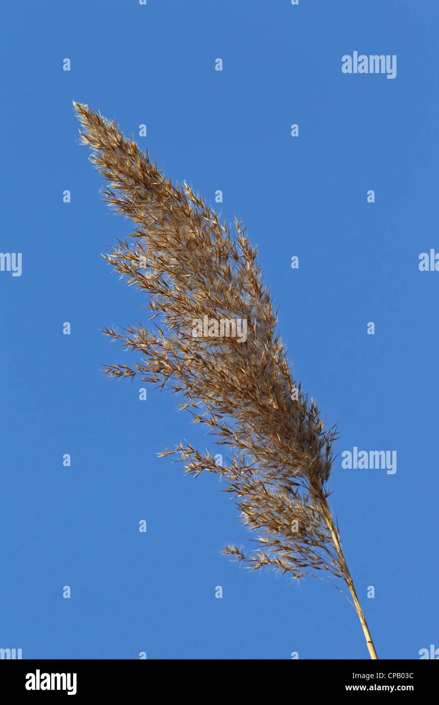 Common reed (Phragmites australis / Phragmites communis) seedhead in wetland - Stock Image