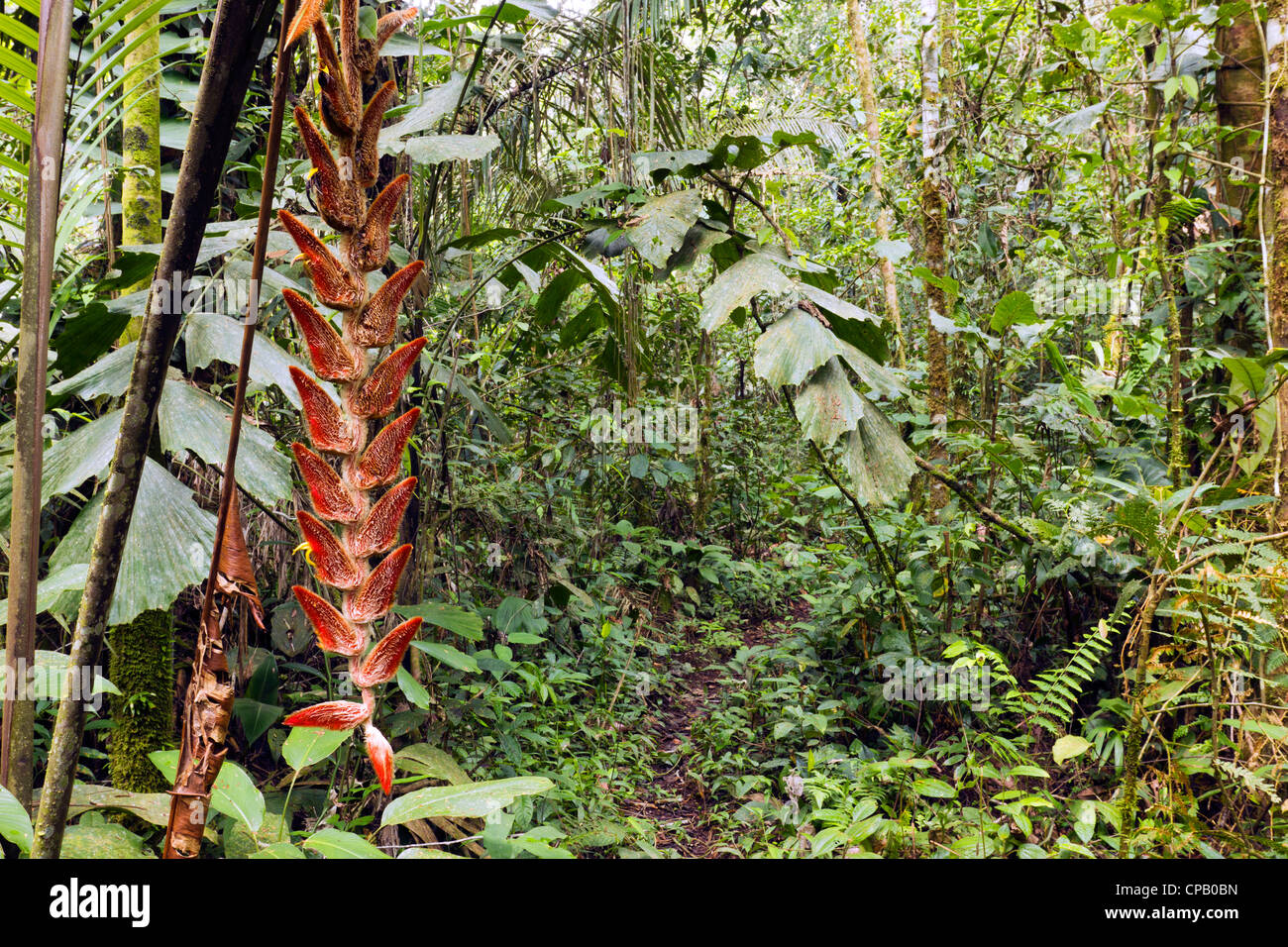 Hanging inflorescence of Heliconia velligera in tropical rainforest, Ecuador - Stock Image