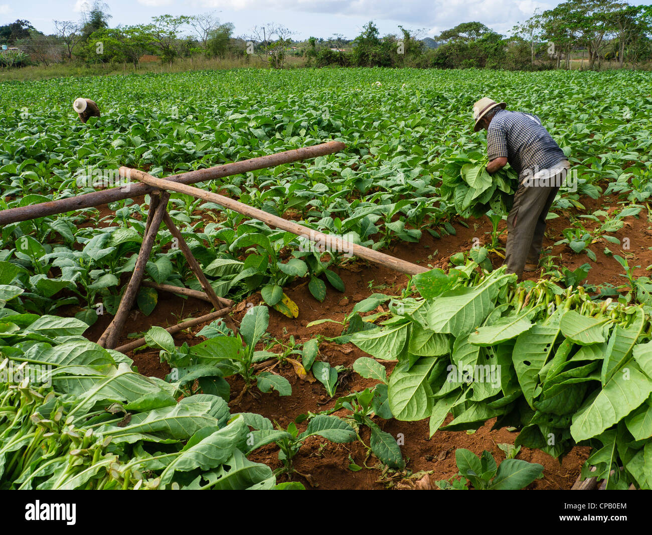 Two farmhands harvest tobacco leaves in the green fields of western Cuba near the town of Viñales in Pinar - Stock Image