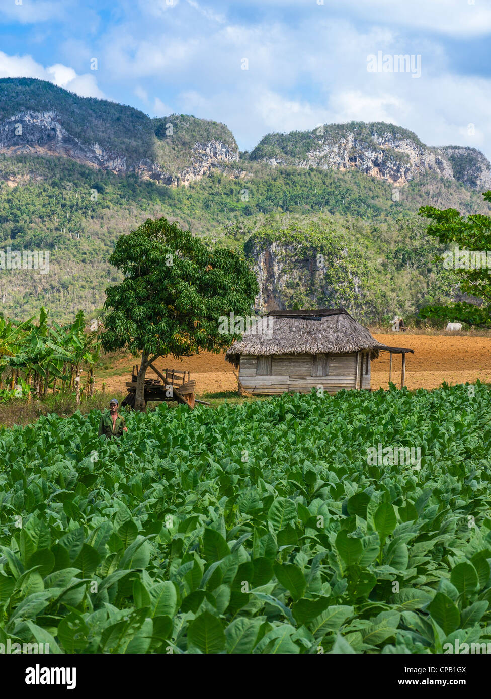 A farmhand harvests tobacco leaves in the green fields of western Cuba near the town of Viñales in Pinar del - Stock Image