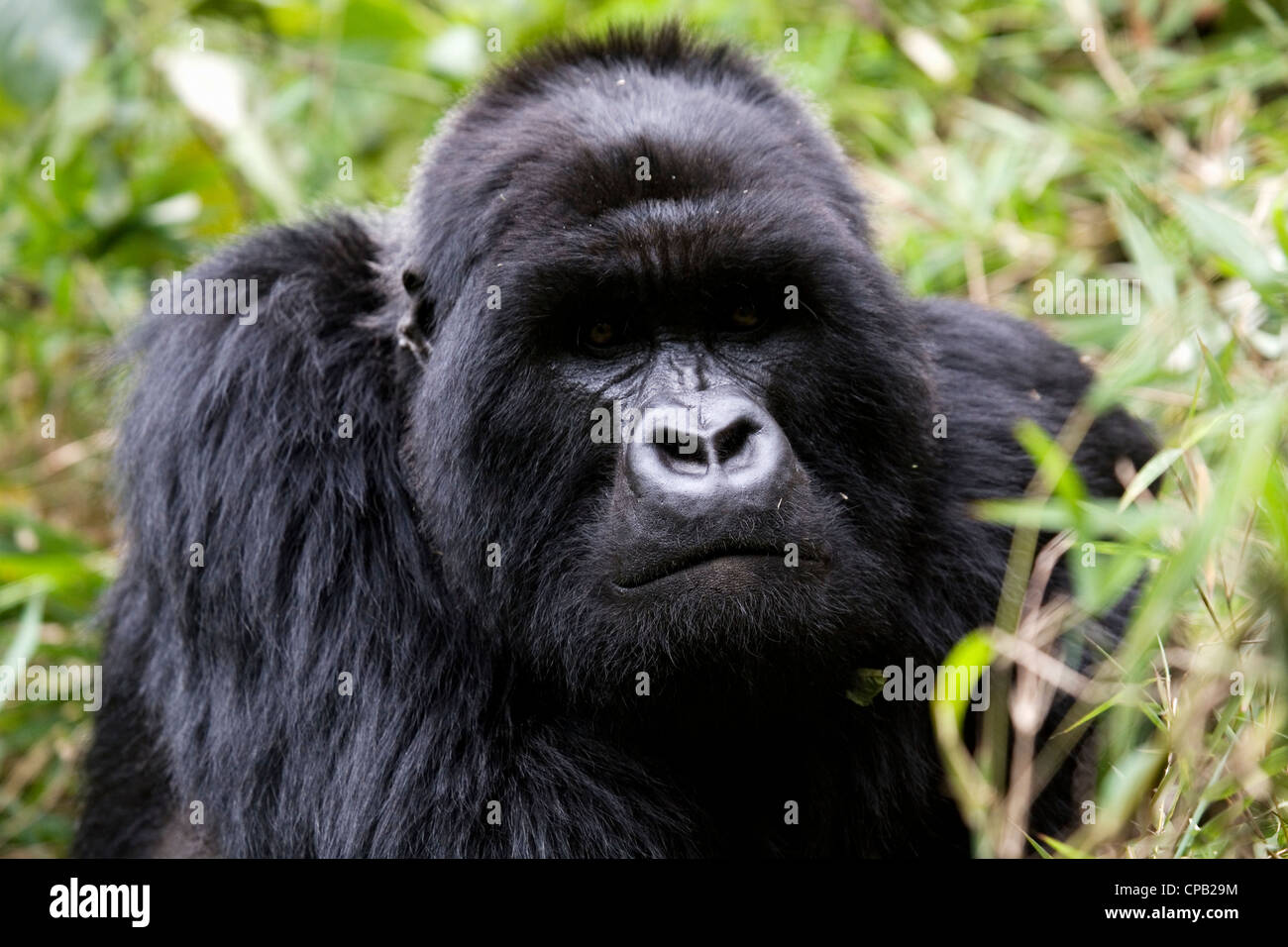 Gundonda, a silverback mountain gorilla (Gorilla beringei beringei) living wild in the Volcanoes National Park, - Stock Image